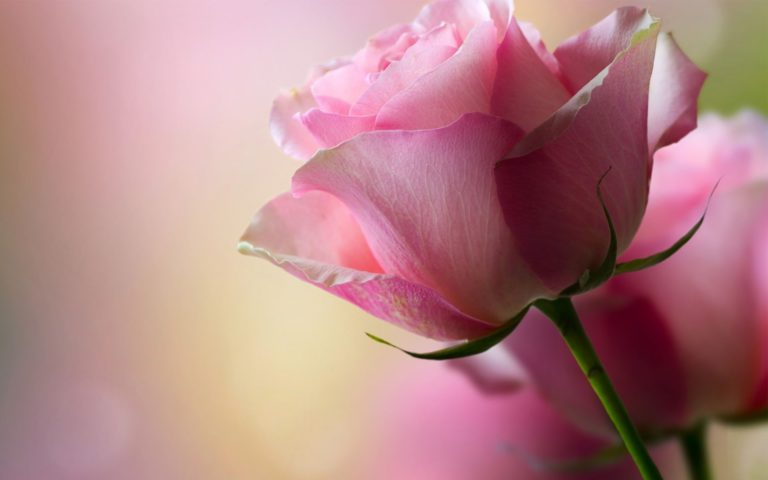Cute rose flower HD wallpaper 1