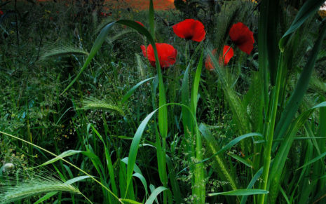 Poppies garden HD wallpaper