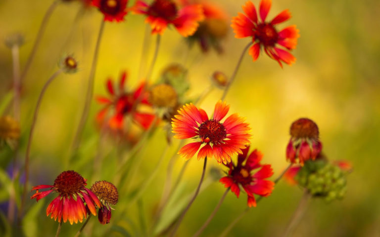 Red sunflowers HD wallpaper